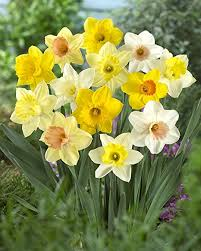 Daffodil Flowers Name in Hindi and Marathi