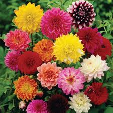 Dahlia Flowers Name in Hindi and Marathi