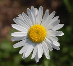Daisy Flowers Name in Hindi and Marathi